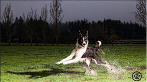 Pippa Border Collie playing in puddles, Victoria, BC